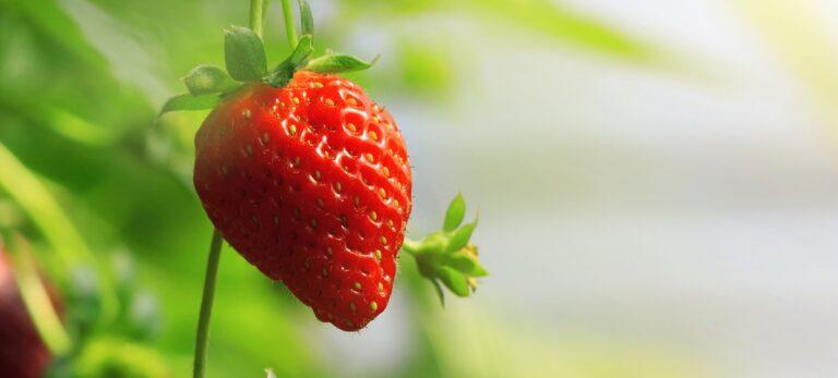 Den evige jordbærsæson