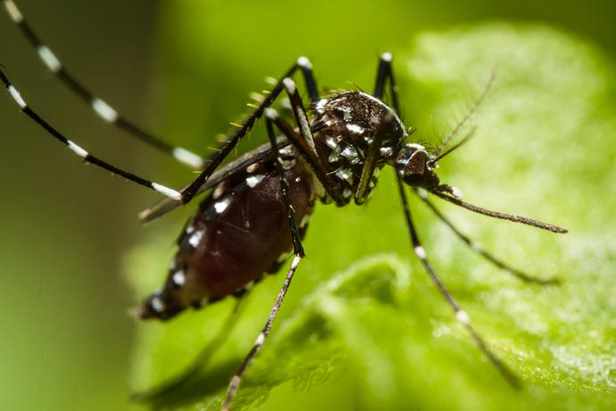 Ny myggepest plager det vestlige Málaga