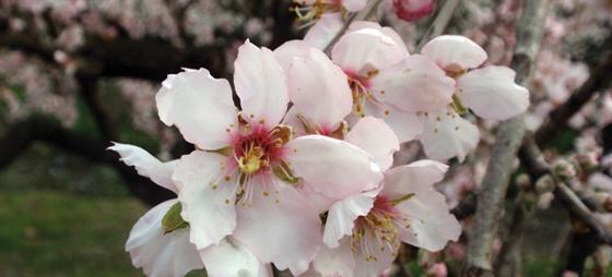 Ud og se mandlerne blomstre