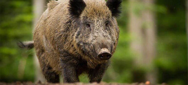 Fakta og myter om vildsvin