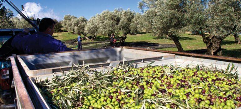 Sabor a Málaga: Olivenolie fra Finca la Torre.