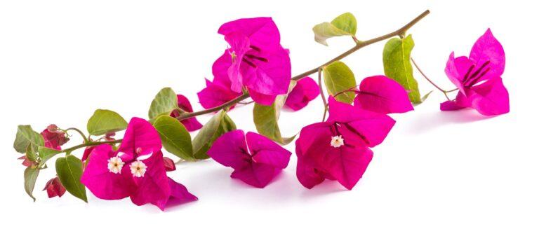 Bougainvilleaen blomstrer