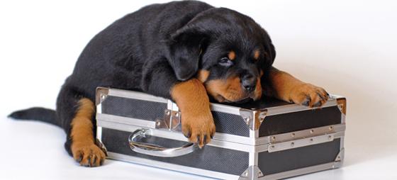 Smitsomme sygdomme hos adopterede hunde