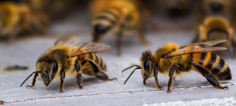 Hvad kan bier og andre sociale insekter lære os om aldring?