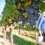 Hvordan laver man vin? - og hvorfor er der prisforskel på dem?