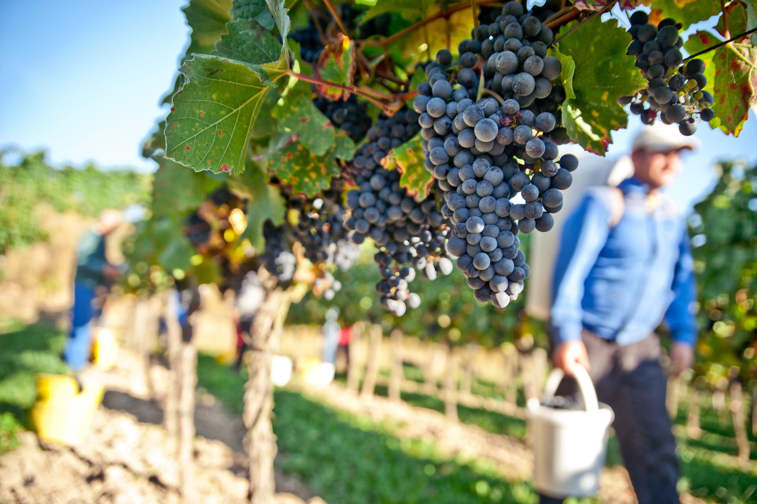 Hvordan laver man vin? – og hvorfor er der prisforskel på dem?